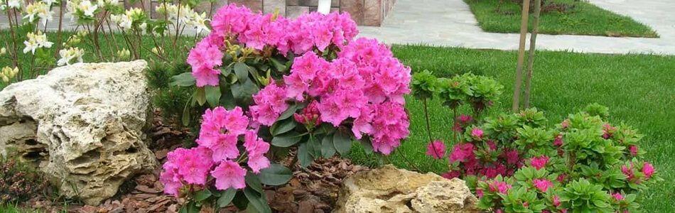 rastenie-rododendron