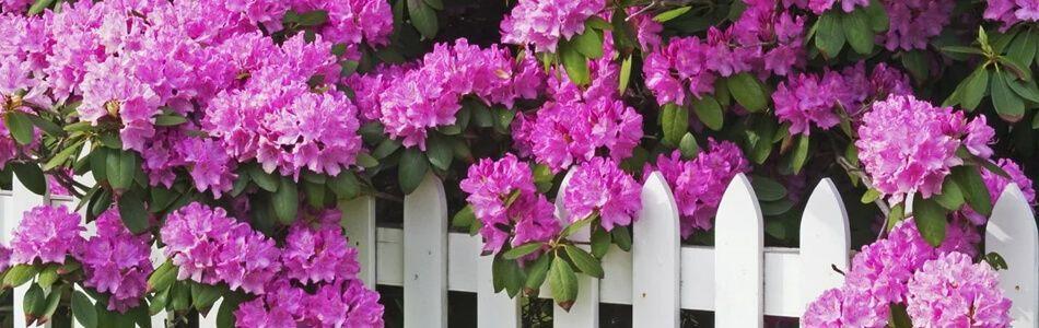 posadka-rododendrona-v-otkritii
