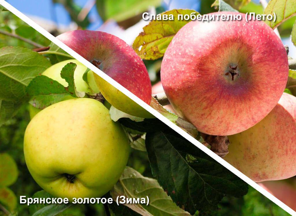 стране ухудшается, брянское алое яблоня описание фото качестве