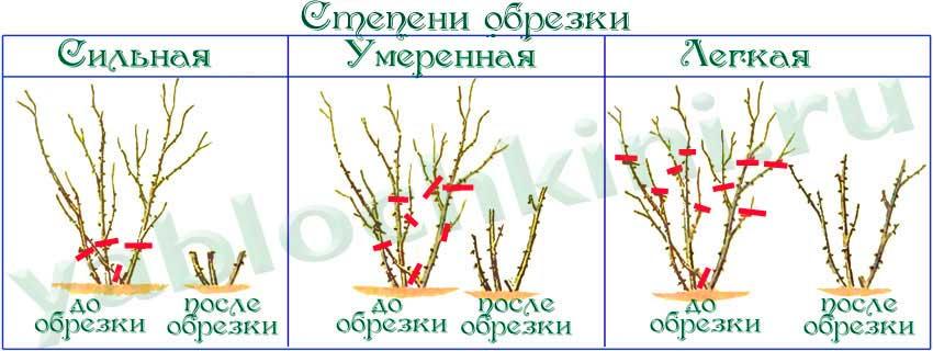 Статьи о растениях: Осенняя обрезка роз или как сделать летнее цветение обильным.