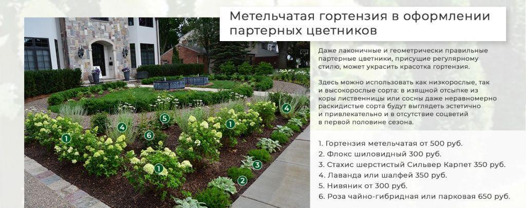 gortenziya-v-parternom-cvetnike