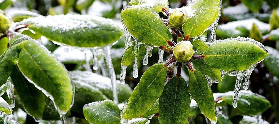 kogda_nuzhno_ukryvat_rododendron.jpg