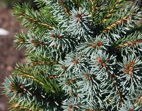 Picea omorika Alexandra