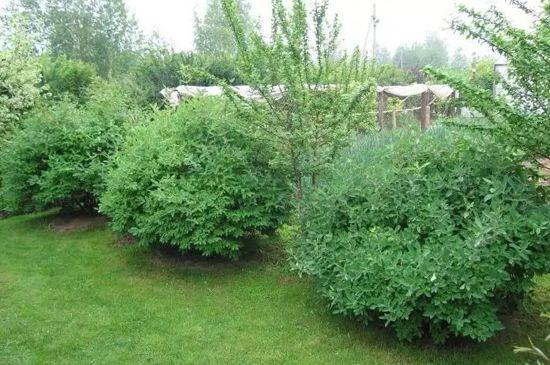 жимолость в саду