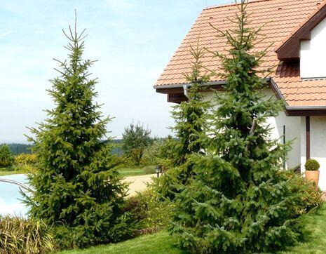 Сербская ель в дизайне сада