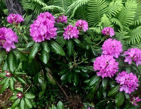 rododendron-posadka-i-uhod